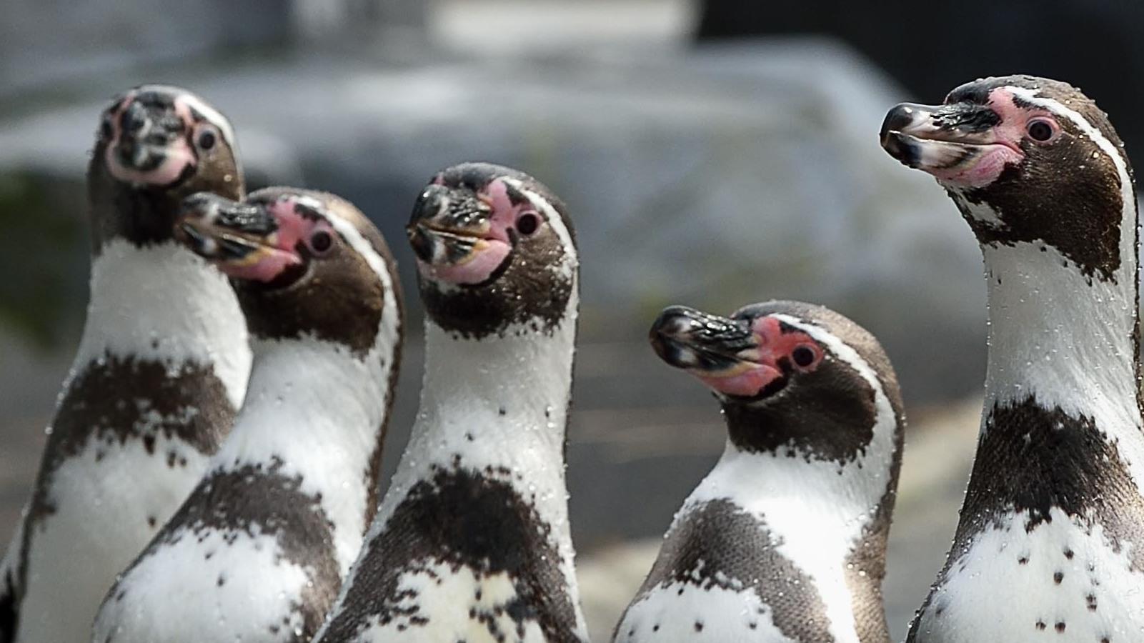 Les manchots au Parc zoologique de Paris